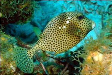 trunkfish and coral