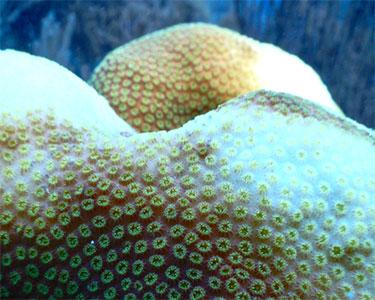 Caribbean star corals